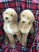 Poodle (Standard) Puppy For Sale in GRAND TERRACE, CA, USA
