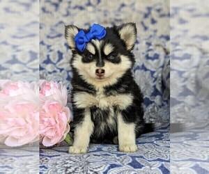 Pomsky Puppy for sale in CHRISTIANA, PA, USA