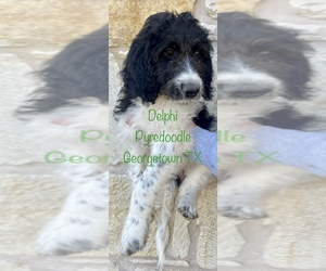 Poodle (Standard)-Pyrenean Sheepdog Mix Puppy for sale in GEORGETOWN, TX, USA