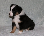 Puppy 2 Miniature American Shepherd