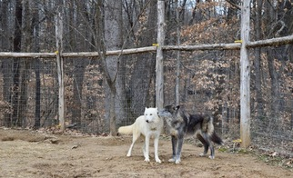 Wolf Hybrid Puppy For Sale in ALVATON, KY, USA