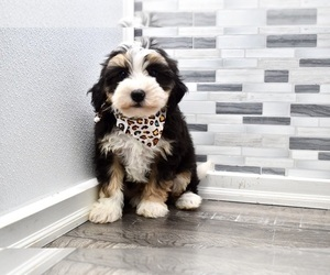 Bernedoodle Puppy for sale in HOLLY SPRINGS, NC, USA