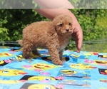 Small #18 Goldendoodle