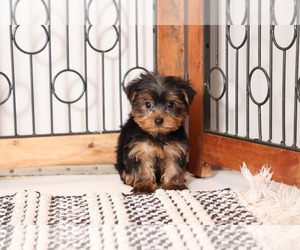Yorkshire Terrier Puppy for sale in NAPLES, FL, USA