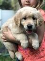 Golden Retriever Puppy For Sale in JACKSONVILLE, FL, USA