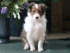 Shetland Sheepdog Puppy For Sale in MOUNT JOY, PA, USA