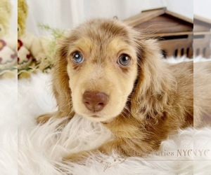 Dachshund Puppy for sale in ASTORIA, NY, USA