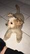 Maltipoo Puppy For Sale in DENHAM SPRINGS, LA, USA