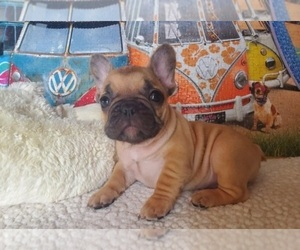 French Bulldog Puppy for sale in FLUSHING, NY, USA