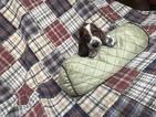 Basset Hound Puppy For Sale in JESUP, GA, USA