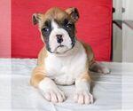 Small Boxer