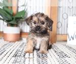 Tabby Cute Female Shorkie Puppy
