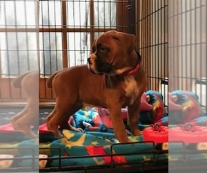 Boxer Dog for Adoption in DRYDEN, New York USA