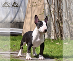 Puppy 2 Miniature Bull Terrier