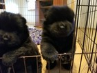 Chow Chow Puppy For Sale in HODGENVILLE, KY,