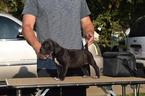 Cane Corso Puppy For Sale in AKRON, OH, USA