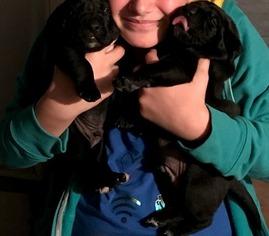 Mastador Puppy For Sale in CARROLLTON, MO, USA