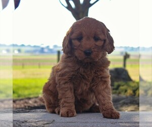 Goldendoodle-Poodle (Miniature) Mix Puppy for sale in GORDONVILLE, PA, USA