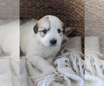 Small #21 Great Pyrenees