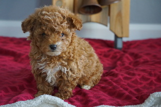 Poodle (Toy) Puppy For Sale in FREDERICKSBURG, OH, USA