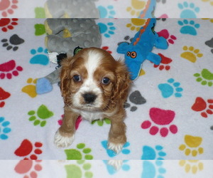 Cocker Spaniel Puppy for sale in ORO VALLEY, AZ, USA
