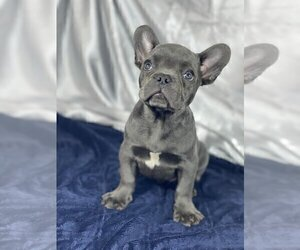 French Bulldog Puppy for sale in OVERLAND, KS, USA