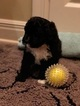Puppy 6 Portuguese Water Dog