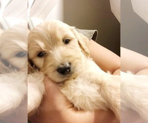Goldendoodle Puppy for Sale in MONTGOMERY, Alabama USA