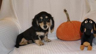 Dachshund Puppy For Sale in WARRIOR, AL