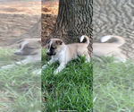 Small #3 German Shepherd Dog-Siberian Husky Mix