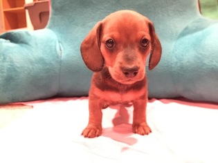 Dachshund Puppy for sale in WICHITA, KS, USA