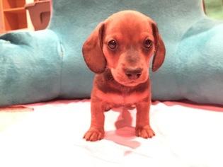 Dachshund Puppy For Sale in WICHITA, KS