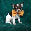 Chihuahua Puppy For Sale in EAST EARL, PA,
