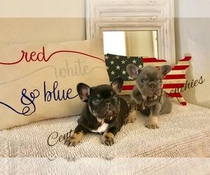 French Bulldog Puppy for Sale in CLOVIS, California USA