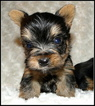 Yorkshire Terrier Puppy For Sale in STATHAM, GA