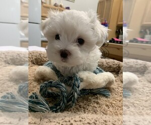 Maltese Puppy for sale in TALALA, OK, USA
