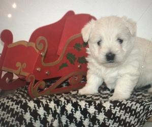 West Highland White Terrier Puppy for sale in AMHERST, NE, USA