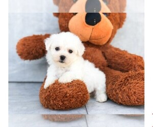 Bichon Frise Puppy for Sale in CLEVELAND, North Carolina USA