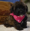 Wee-Poo Puppy For Sale in TUCSON, AZ, USA