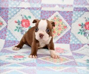 Boston Terrier Puppy for sale in WICHITA, KS, USA