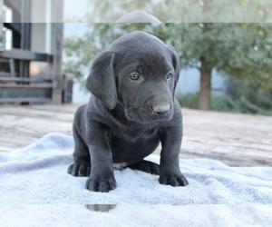 Labrador Retriever Puppy for sale in LESTERVILLE, SD, USA