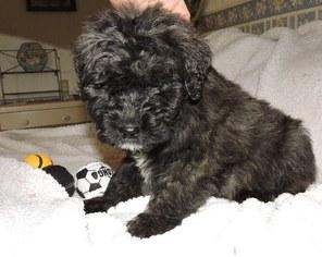 Bouvier Des Flandres Puppy For Sale in AMBOY, WA
