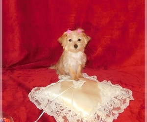 Morkie Puppy for sale in WARRENSBURG, MO, USA