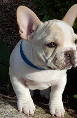French Bulldog Puppy For Sale in FORT WAYNE, IN