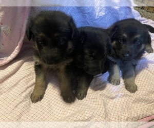 German Shepherd Dog Puppy for sale in NAMPA, ID, USA