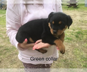 Rottweiler Puppy for Sale in WINDSOR, Maine USA