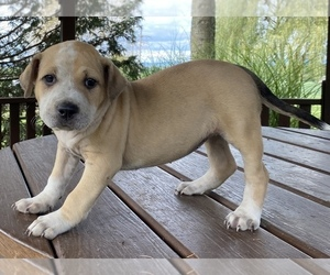 American Bully Puppy for sale in NEWMANSTOWN, PA, USA