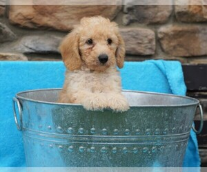 Goldendoodle-Poodle (Miniature) Mix Dog for Adoption in FREDERICKSBG, Ohio USA