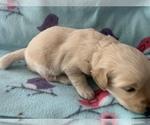 Small Photo #5 Golden Retriever Puppy For Sale in LAPEER, MI, USA