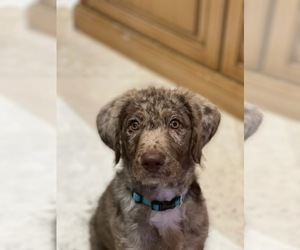 Labradoodle Puppy for Sale in CORAL GABLES, Florida USA